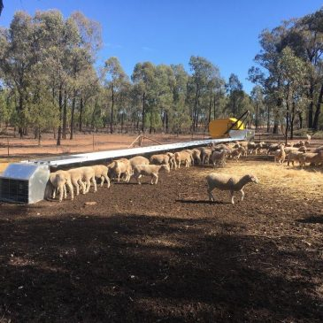 WHAT WA SHEEP FARMERS CAN LEARN FROM THE DROUGHT IN THE EASTERN STATES