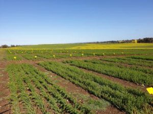 Figure 3 Kojonup small plot flax trials- preparation for spring field day