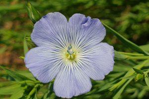 Figure 1: Croxton Flax Flower